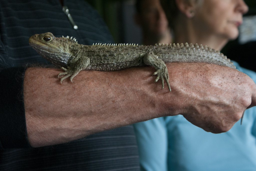 Henry the Tuatara at Southland Museum | Kimberley Collins | Flickr