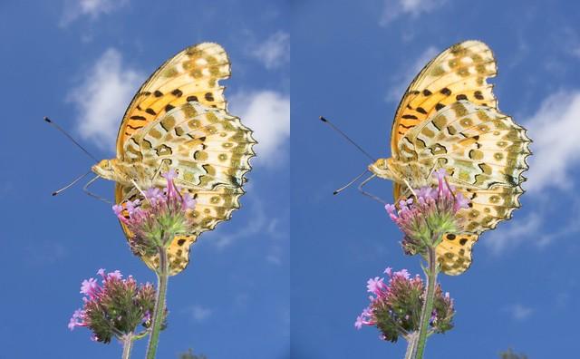 Argyreus hyperbius, stereo parallel view