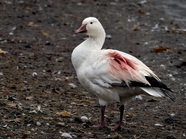 Oie des neiges --- Snow geese --- Ganso blanco