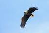 White-tailed Eagle, Portree Bay, Isle of Skye, Scotland by Terathopius