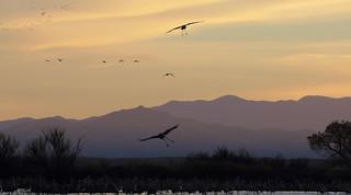 It Was Twilight And Sandhill Cranes >> Refuge Twilight Activity Sandhill Cranes Grus Canadens Flickr