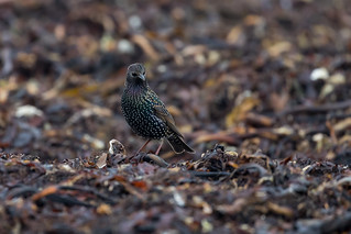 Star [common starling]   by Songs.Ohia