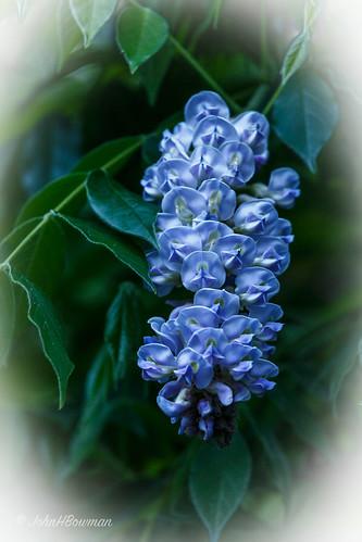 westvirginia fayettecounty newrivergorge flowersandplants wisteria lowlight dusk may2015 may 2015 canon702004l