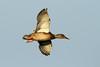 Anas platyrhynchos ♀ (Mallard) - Everett, WA by Nick Dean1