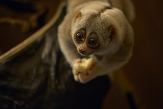 Slow Loris, night primate, monkey | by t66t