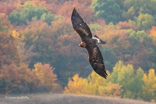 Majestic Golden Eagle 501_4027.jpg | by Mobile Lynn