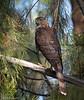 Cooper's Hawk (Accipiter cooperii) - Tijuana River Valley Regional Park, California by JFPescatore