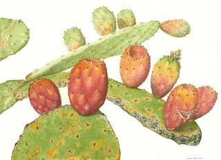 Opuntia ficus indica.