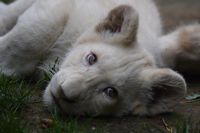 African white lion cub @ Zoo de la Flèche 08-09-2017