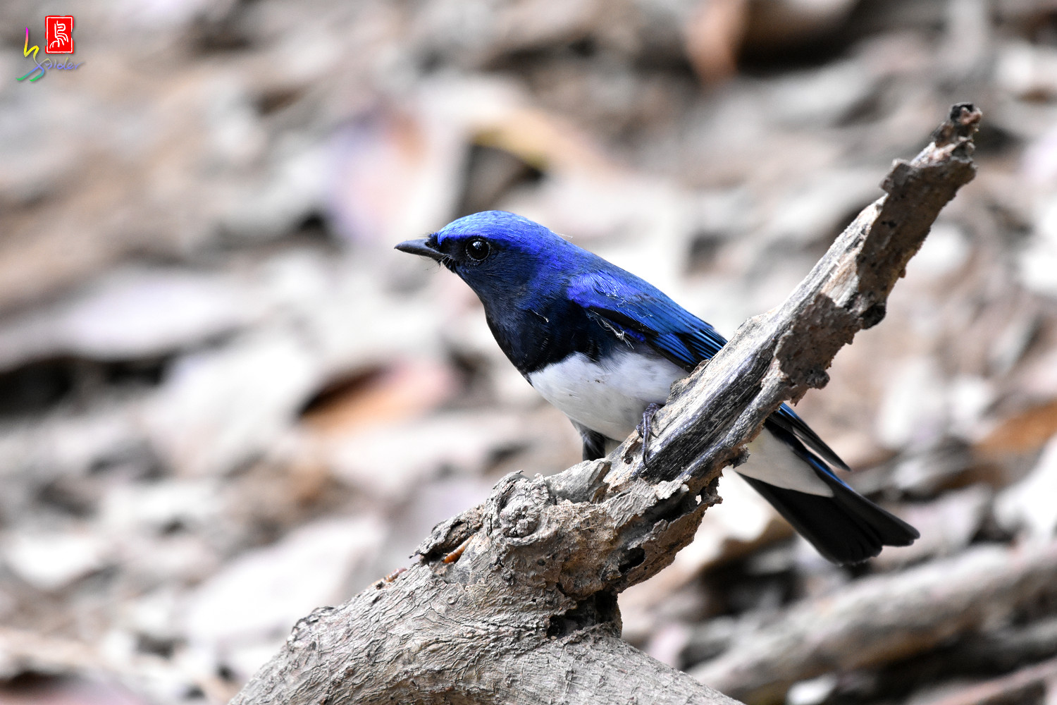 Blue-and-white_Flycatcher_9005