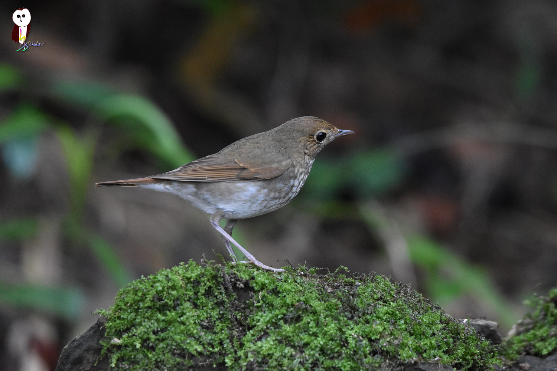 Rufous-tailed_Robin_4905