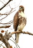 Red-tailed Hawk (light morph juvenile) by RedAbbott