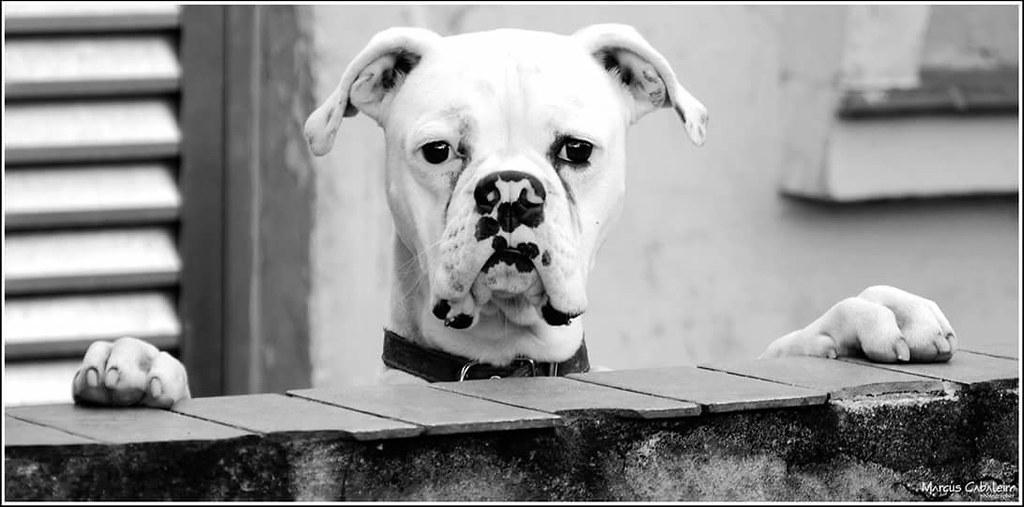 Alguém viu o CARTEIRO? Foto: Marcus Cabaleiro Site: https://marcuscabaleirophoto.wixsite.com/photos  Blog http://marcuscabaleiro.blogspot.com.br/  #marcuscabaleiro #santos #dog #boxer #sp #brasil #imagem #arte #nikon #bw #pb #photographer #brazil #photogr