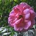 Pink Autumn Flower