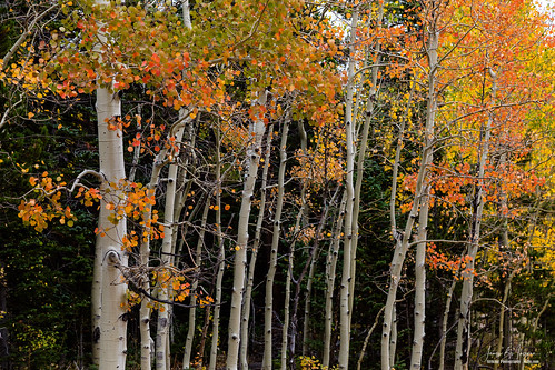 colorful orange red yellow colors rockymountain highcountry autumn fall aspentrees foliage leaves forest wilderness trees woods nature landscapes colorado travel scenery scenic photography ward unitedstates coloradonaturelandascapes coloradolandscapes jamesinsogna
