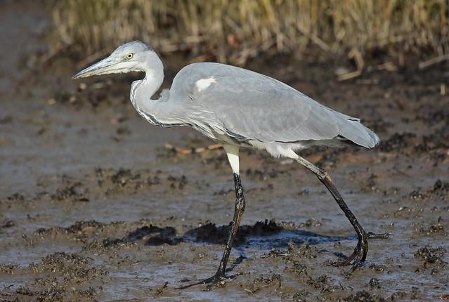 Grey Heron (Juv)