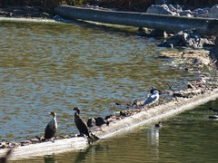 Cormorants, coots, and a seagull