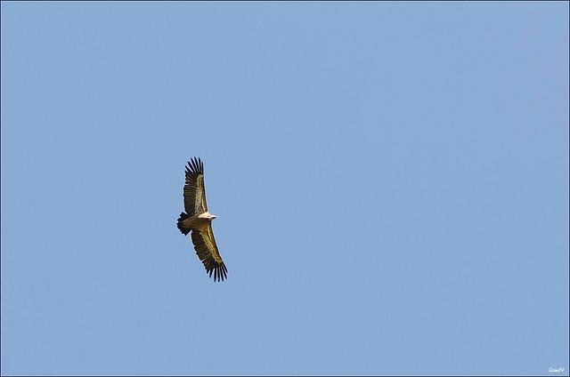 LMB_9959-vautour