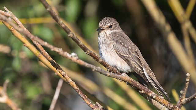 Grå flugsnappare Spotted Flycatcher