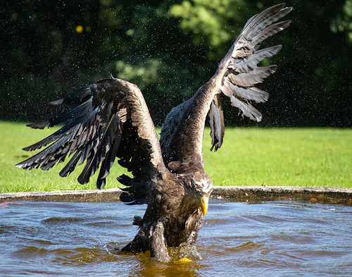 Sea Eagle | by Larryslord