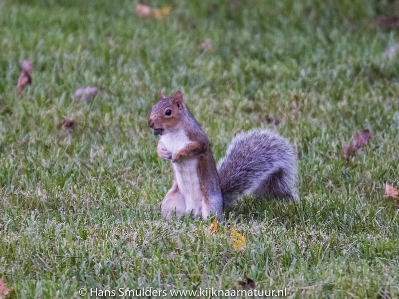 Eastern Gray Squirrel (Sciurus carolinensis)-818_6617