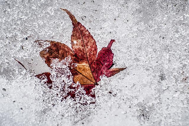 MapleLeaf in Snow_- Winter Walk Series