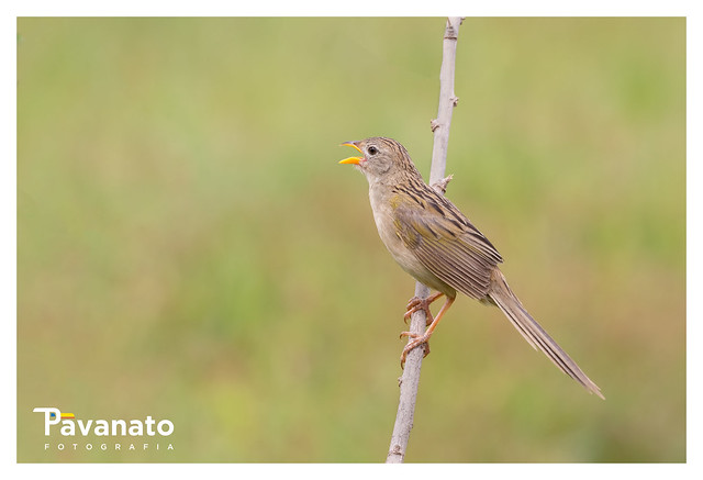 Canário do campo (Emberizoides herbicola) - Botucatu/SP - Brasil