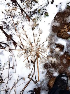 schneeblume | by michael pollak