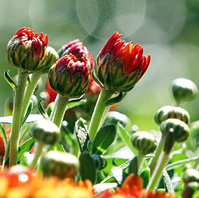 Chrysanthemums Buds in Sunlight