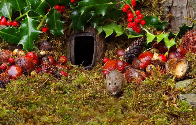 wild house mouse with holly christmas  (3)