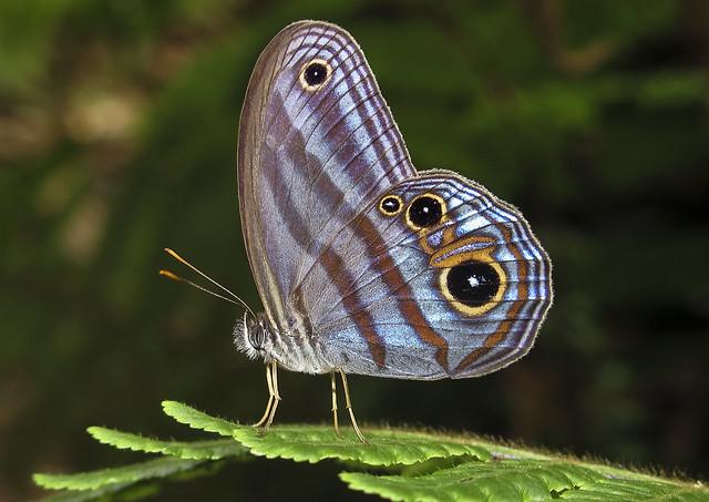 Chloreuptychia agatha
