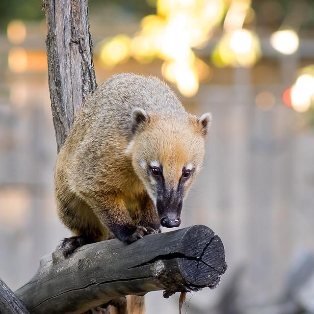 Coati on the prowl...
