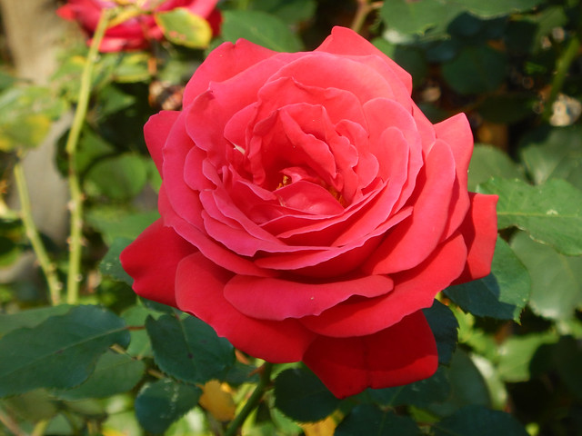 Deze roos bloeide vandaag op de weg naar de winkels Explore 20181015