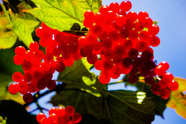 Red Berries above my head and below the sun