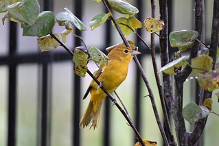 Summer Tanager, female, first day of fall 2018 | by hbvol50