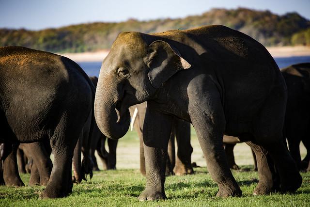 Wild Sri Lankan Elephants In Minneriya National Park