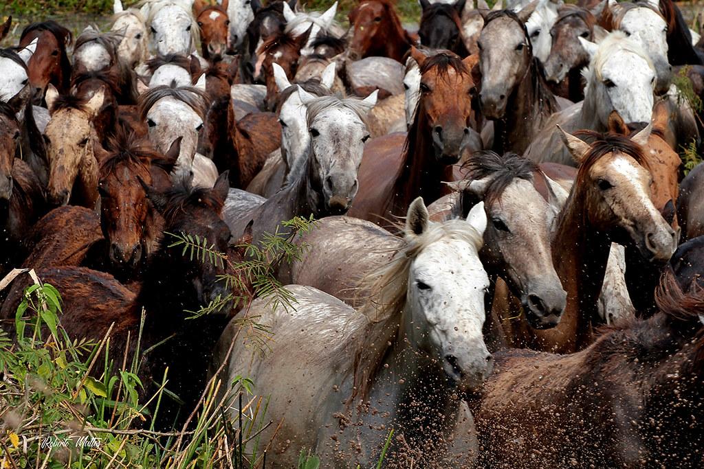 Cavalo Pantaneiro, Poconé (MT)