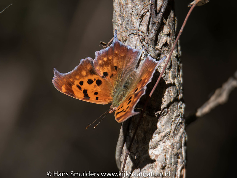 Eastern Comma, Polygonia comma-818_6598