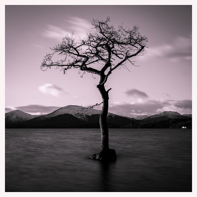 Milarrochy Bay Tree Again