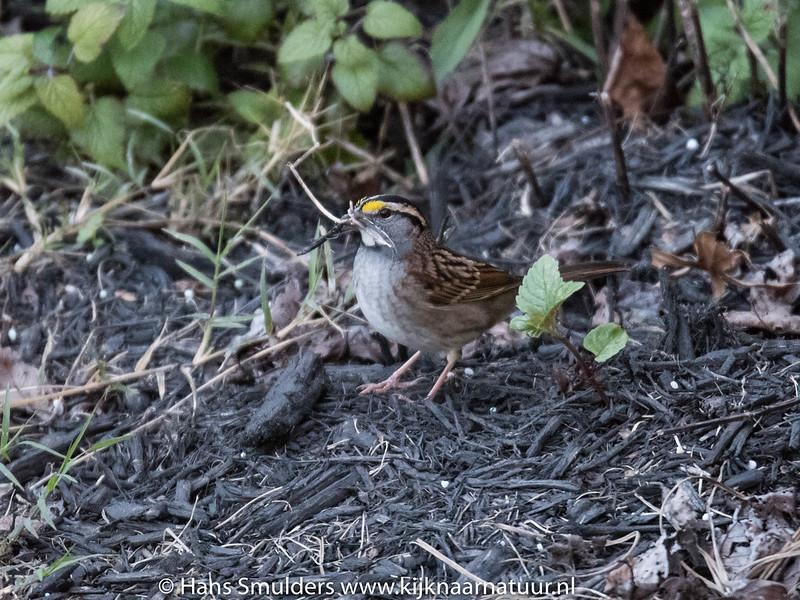 Song Sparrow-818_6604