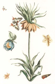 Keizerskroon tulip, butterflies and caterpillars by Johan Teyler (1648-1709). Original from the Rijks Museum. Digitally enhanced by rawpixel. | by Free Public Domain Illustrations by rawpixel