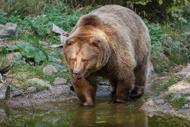 Braunbär, aufgenommen im Wisentgehege Springe