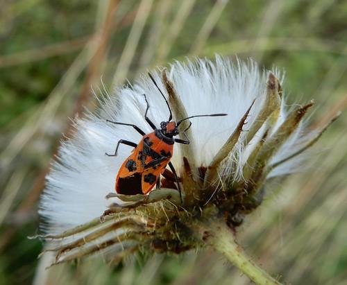 corizushyoscyami rhopalidae punaise hemiptera heteroptera insect seedhead uptonmagna shropshire rockwolf