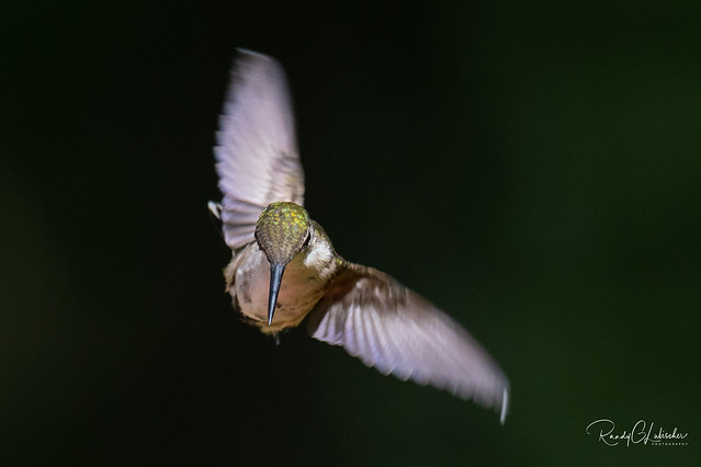 Ruby-throated hummingbird - Archilochus colubris | 2018 - 20