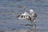 Western Reef Heron, Egretta gularis by Kevin B Agar