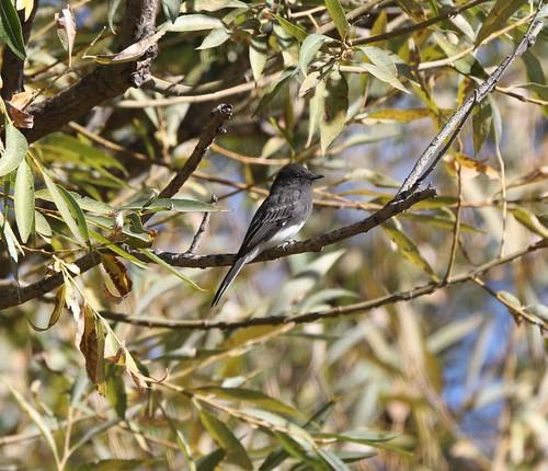 kevinlucas blackphoebe sayornisnigricans lateralc toppenishcreek yakimacountyrarebird yakimacountywashingtonus yakimararebird willow fof branch leaves perched