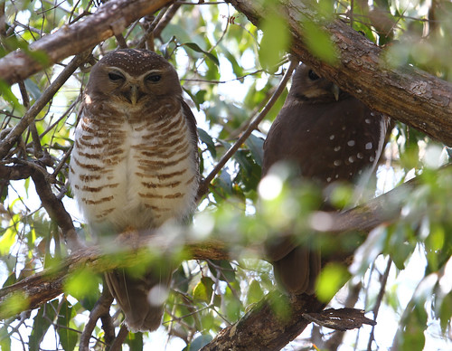 White-browed Owls