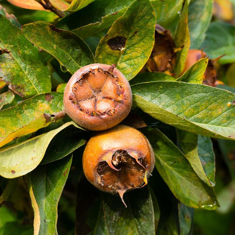Shakespearean medlars, ripening