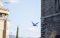 Volo di piccione