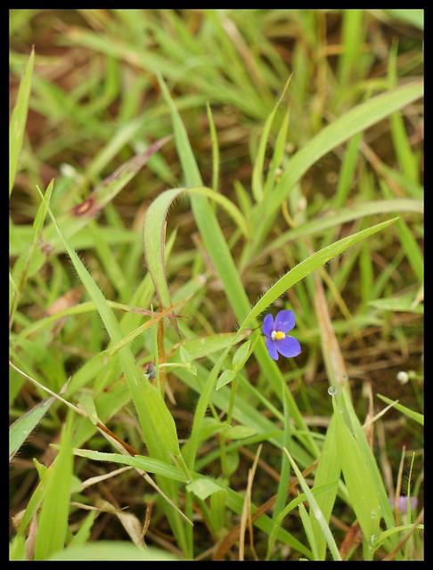 Wildflowers : Gentiana marginata